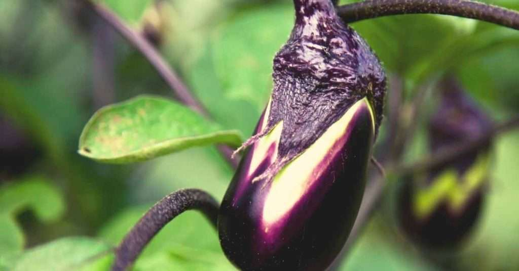 how to grow eggplant in a pot