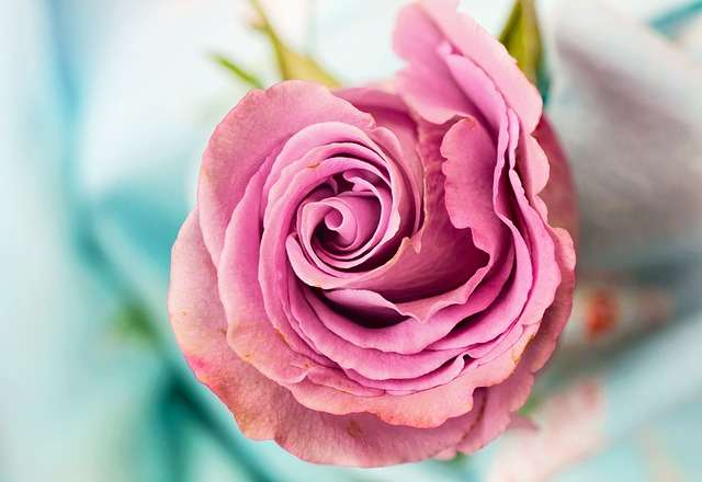 preserving a pink rose