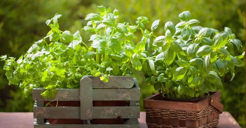 edible herbs