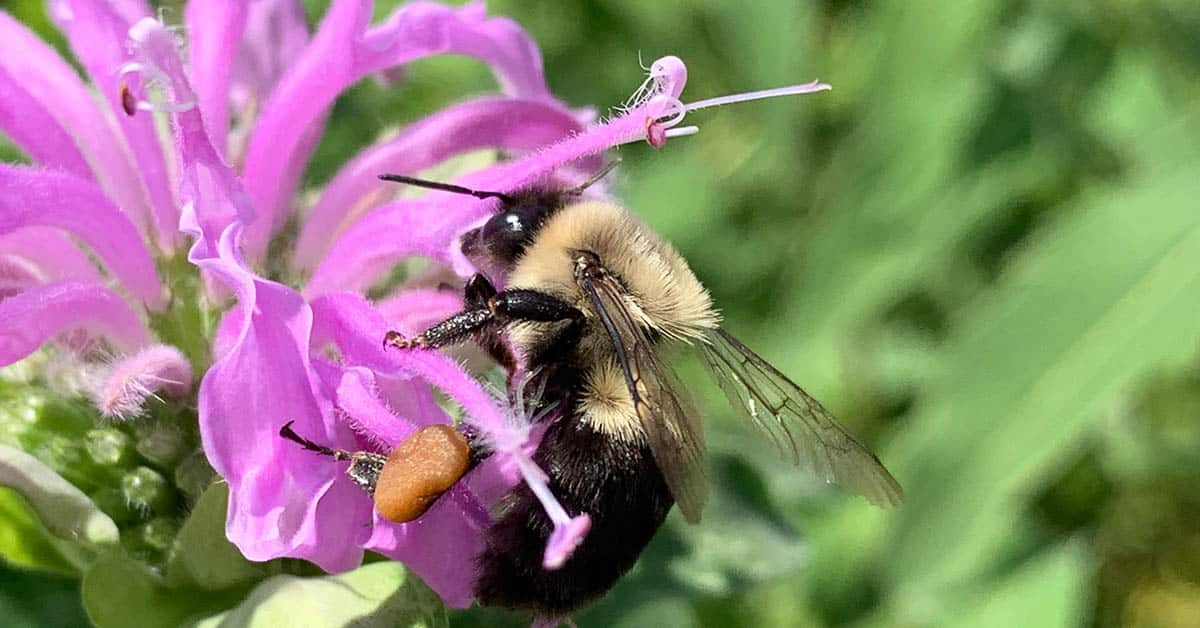 picture of bee balm flower