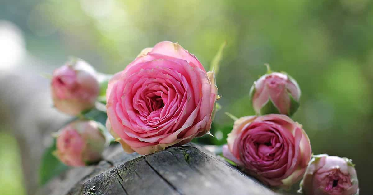 Know Your Roses – Types Of Roses