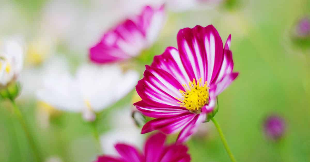 what is cosmos flower