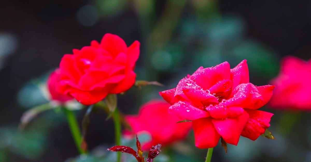 knock out roses care
