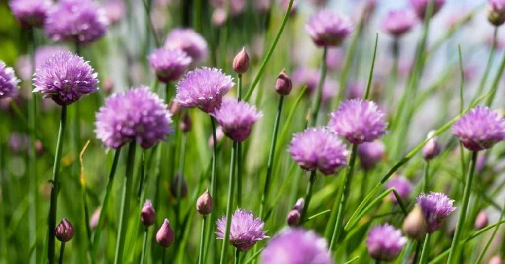 care for Chives plant